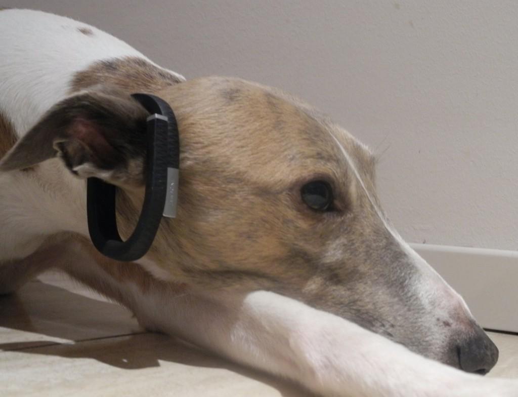 Der Whippet mit Jawbone Tracker
